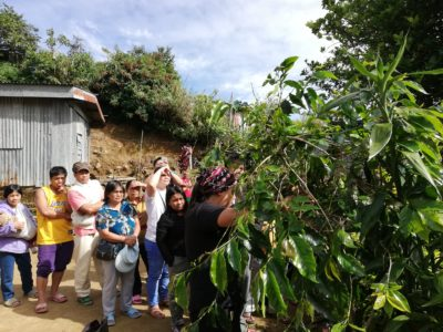 Pruning the coffee trees